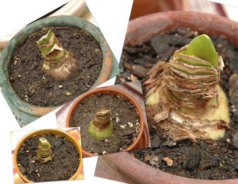 Amaryllis Plants