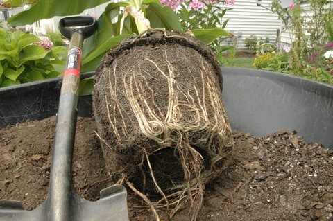 Banana tree, root