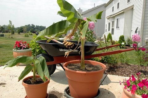 Transplated banana plants