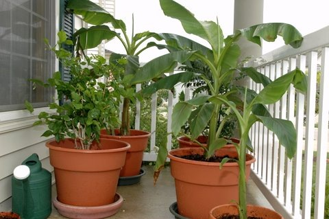 curry plant, banana plant, jasmine plant