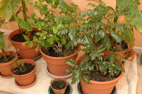 curry leaf plants