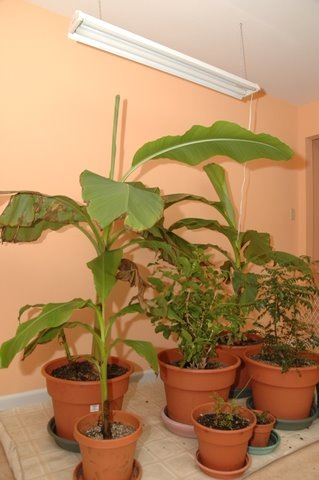 how to look after banana tree in winter